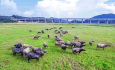 牛在桥边  桥通梧州环城高速